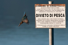Coraciformi - Martin Pescatore