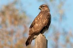 Falconiformi