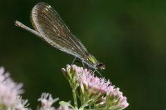 Odonata - Damigelle